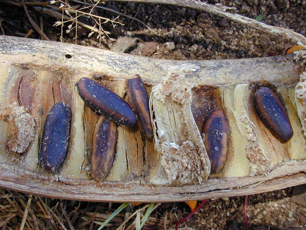 Las semillas de flamboyan se han de escarificar