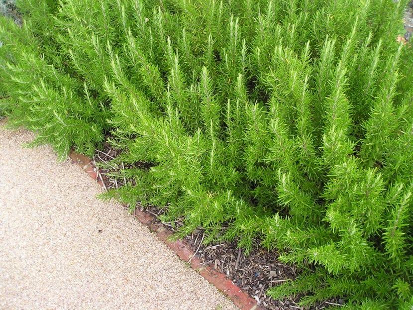 C mo plantar romero en el jard n paso a paso - Setos de jardin ...