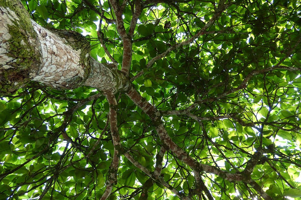 El almendro tropical es un árbol grande