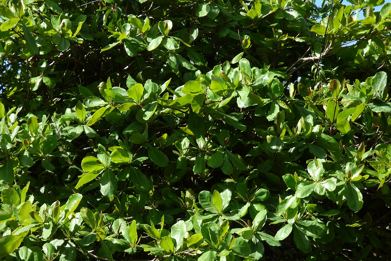 El almendro indio es un árbol tropical