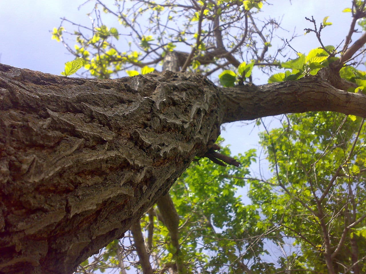La morera tiene un tronco recto