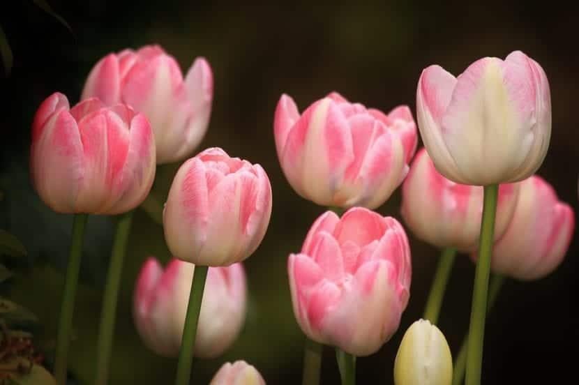 Tulipanes en un jardín