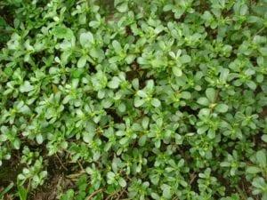 Verdolaga, planta rastrera