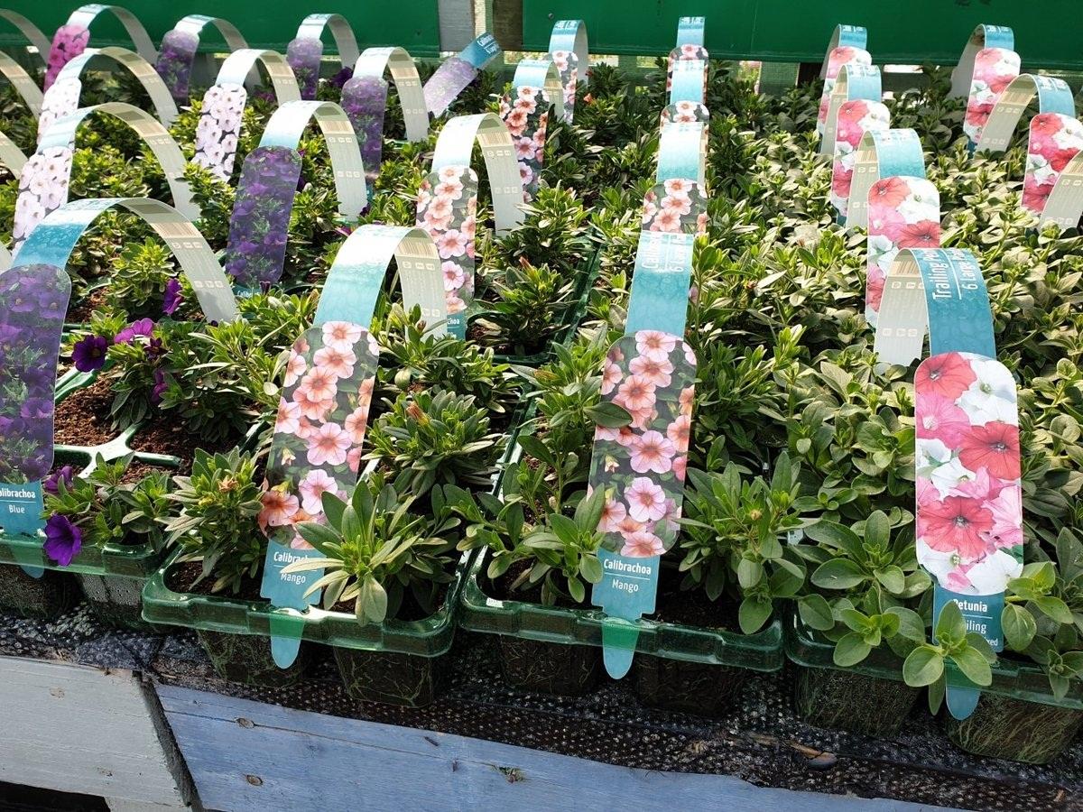 Las calibrachoas son plantas muy alegres