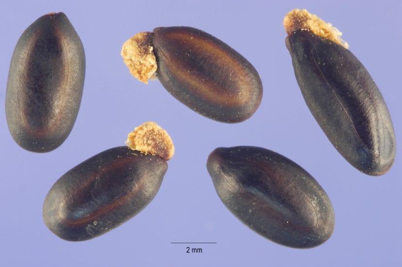 Semillas de Acacia baileyana