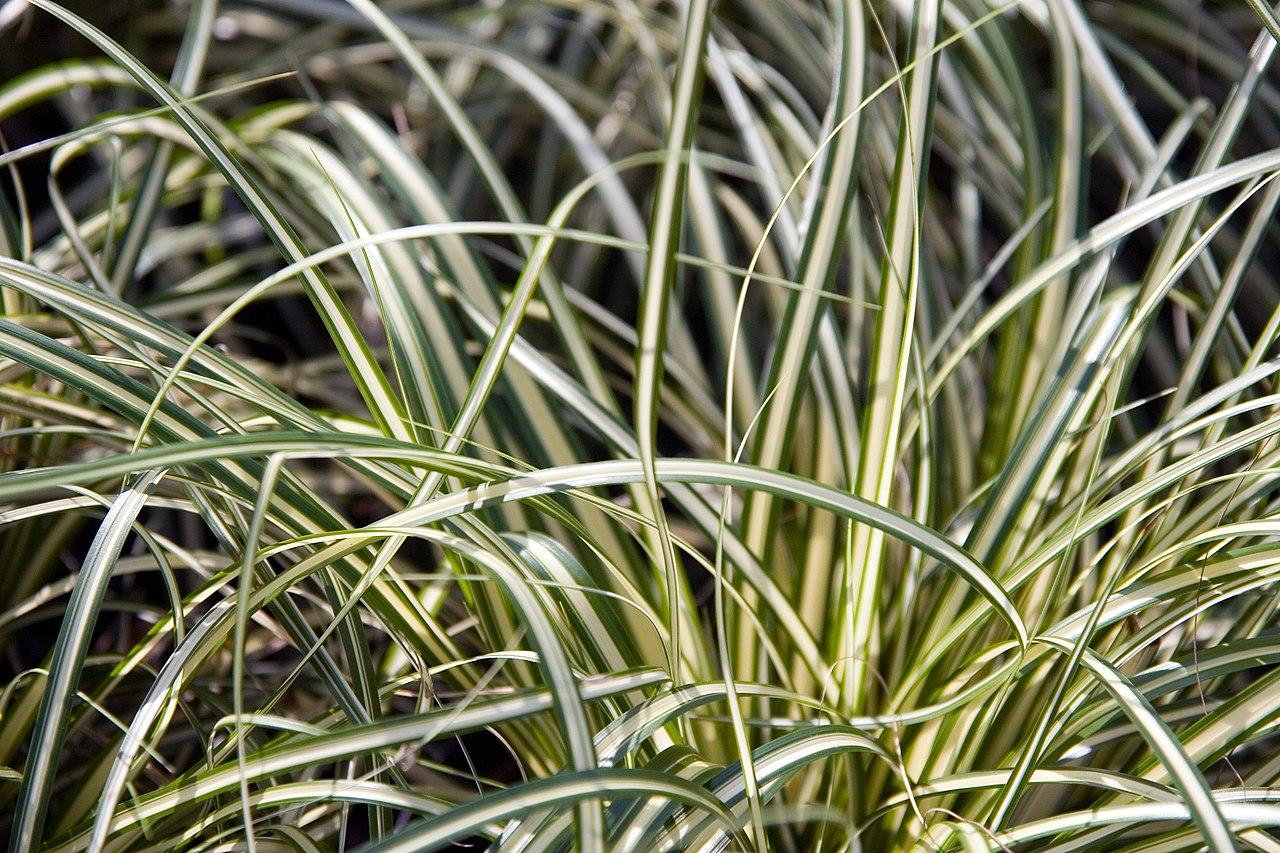 Vista del Carex oshimensis