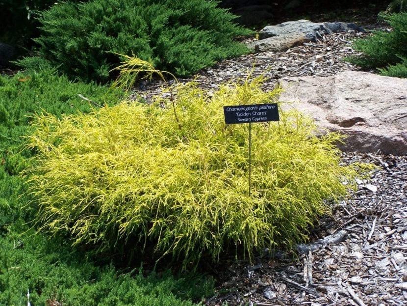 Chamaecyparis pisifera 'Golden Charm'