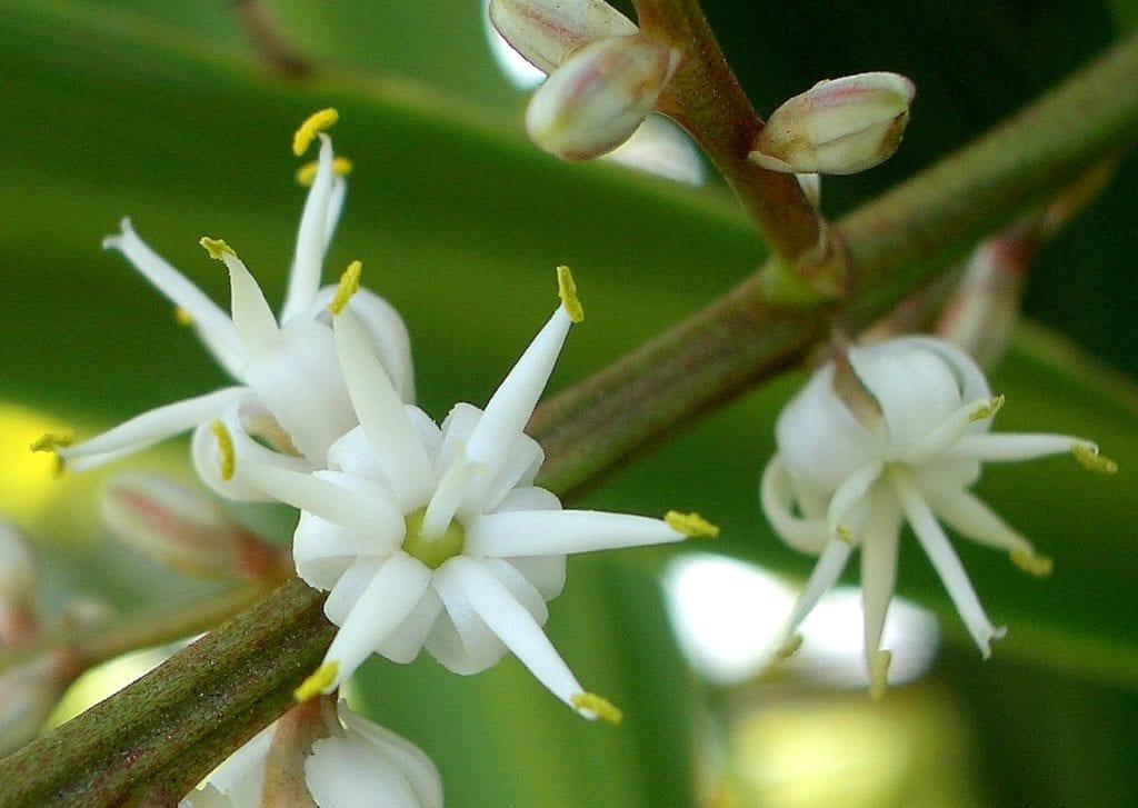 Flores de Cordyline australis