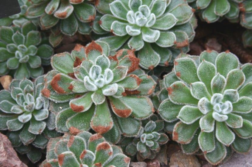 Planta de Echeveria setosa