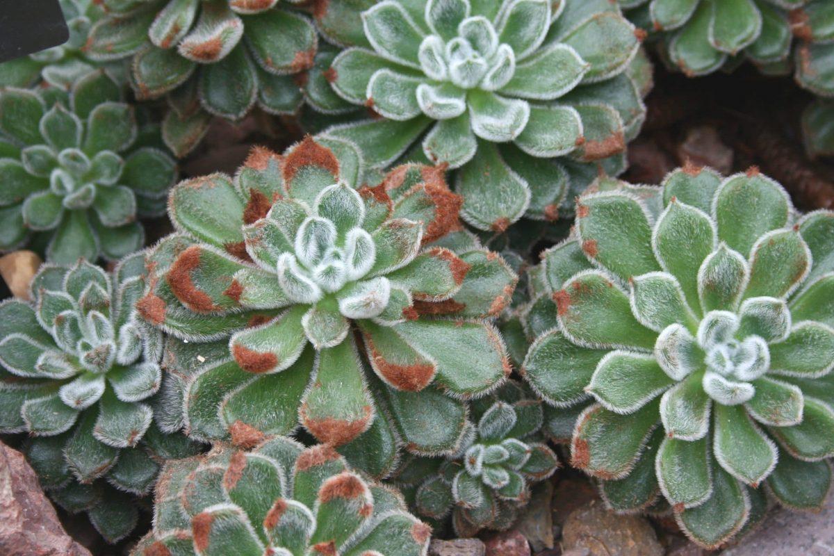 Planta de Echeveria setosa, una planta crasa
