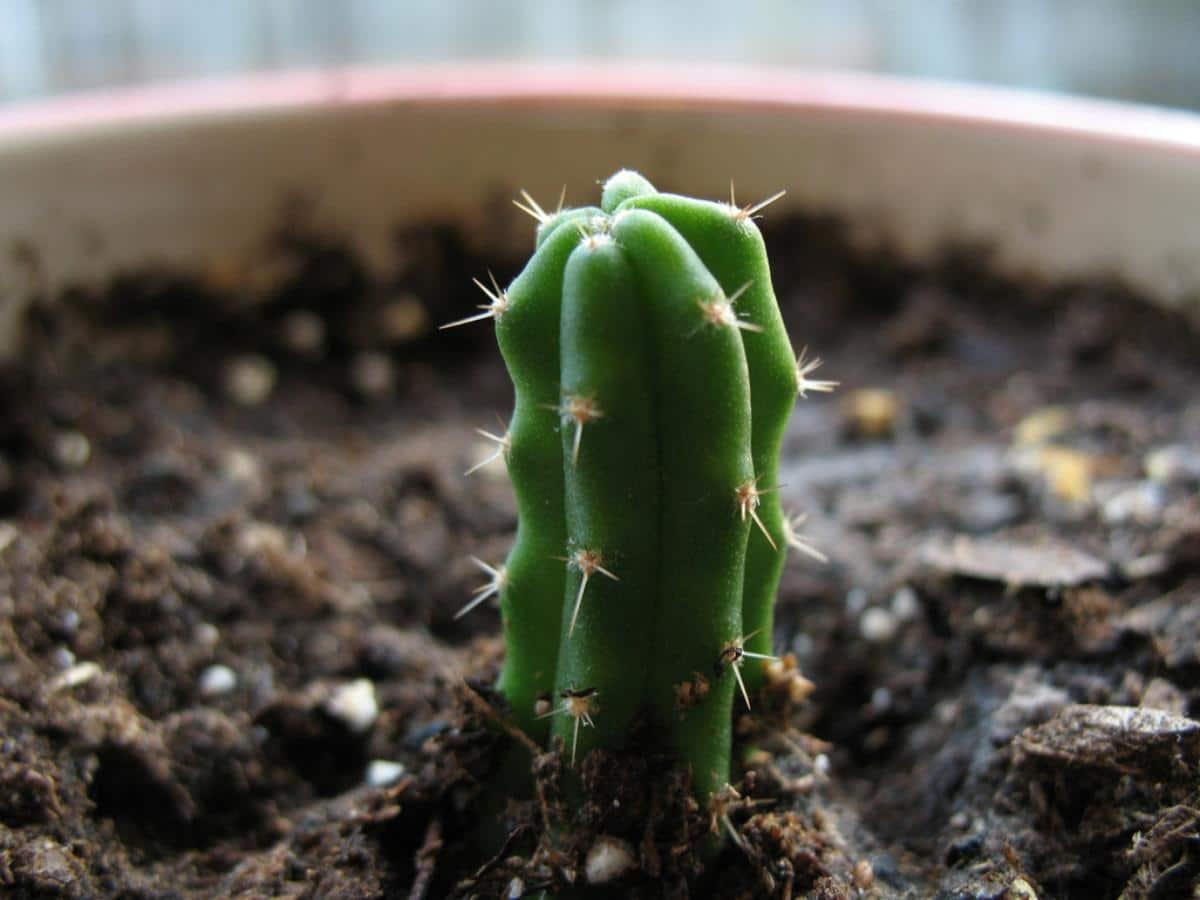 El Echinopsis pachanoi se multiplica por semillas y esquejes