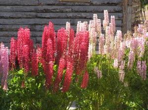 Flores de lupino, una planta que repele pulgones
