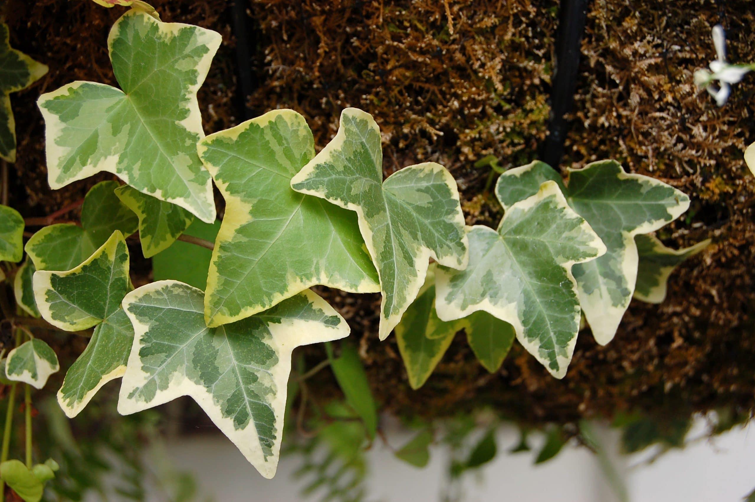 Hedera helix, una planta trepadora para interior
