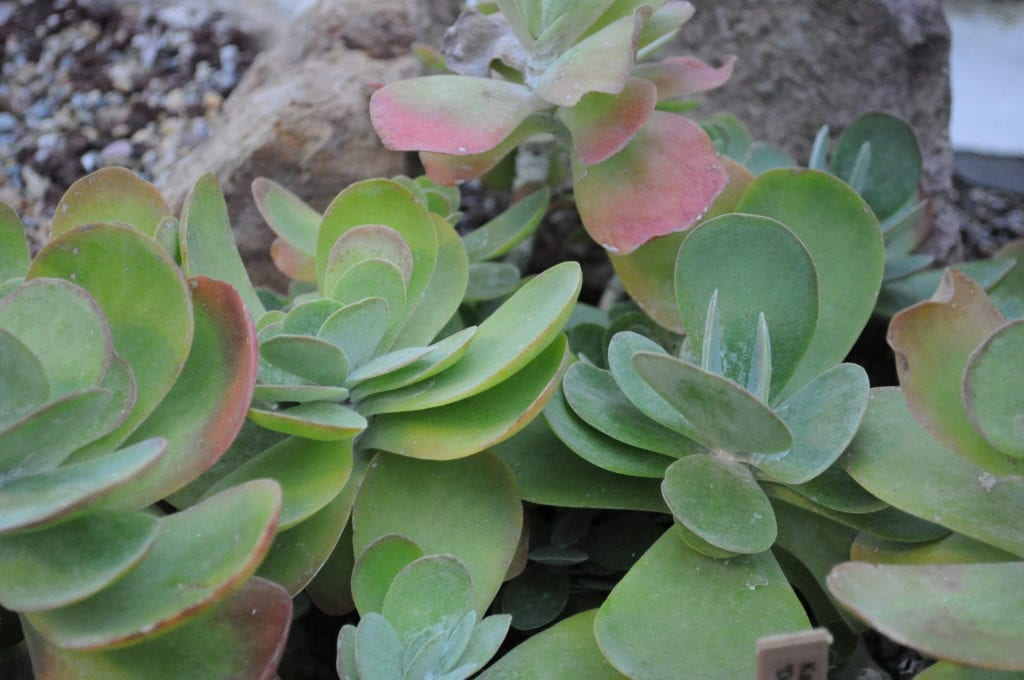 Las hojas del Kalanchoe thyrsiflora son carnosas