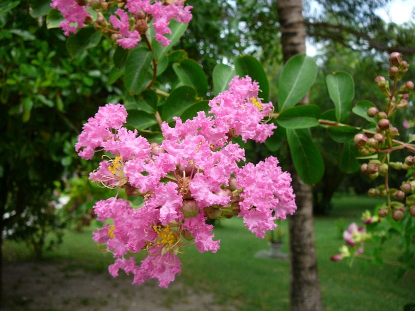 6 rboles ornamentales para jard n peque o for Arboles ornamentales hoja perenne para jardin