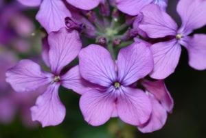 Flor de Lunaria annua