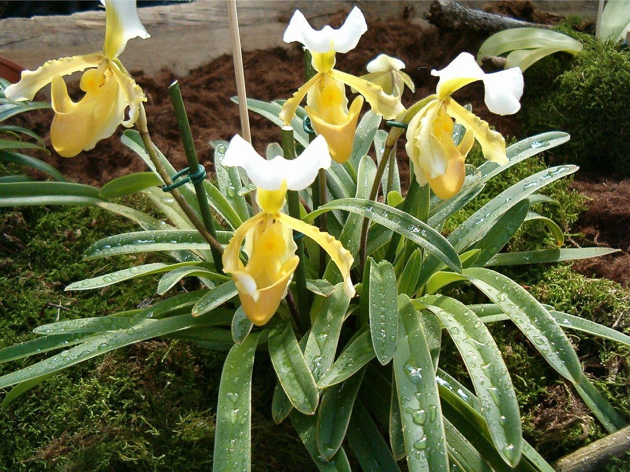 El Paphiopedilum es una orquídea terrestre
