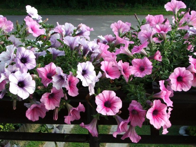 Petunia x hybrida en una jardinera