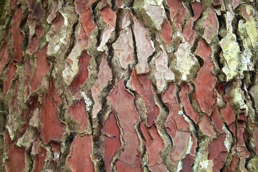 Corteza de Pinus pinaster