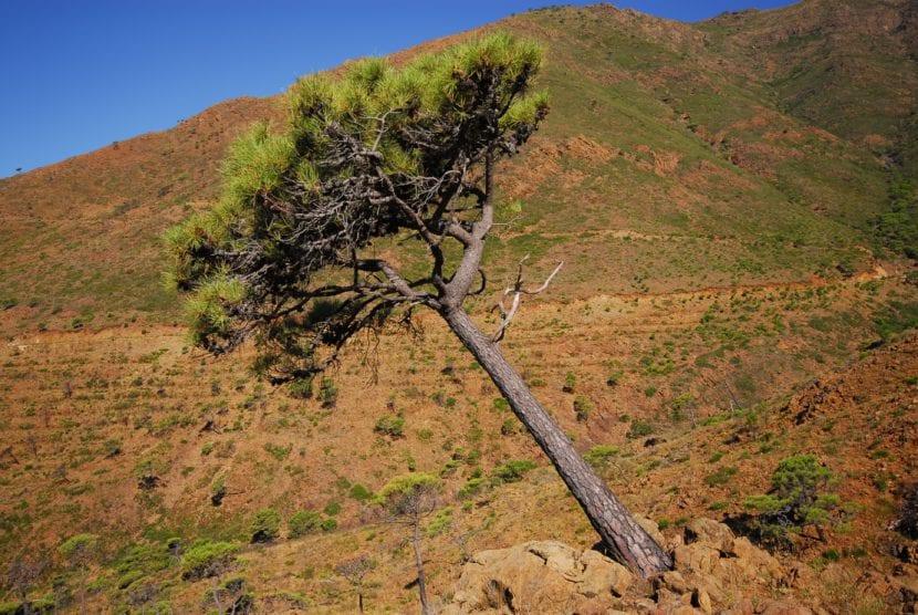 Pinus pinaster en Sierra Bermeja