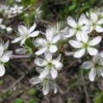 Prunus spinosa, detalle de las flores