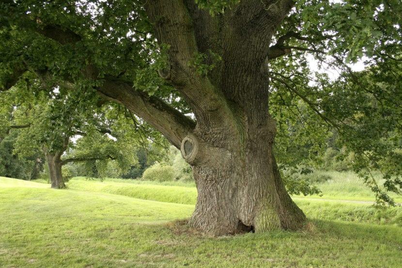 Tronco de Quercus robur