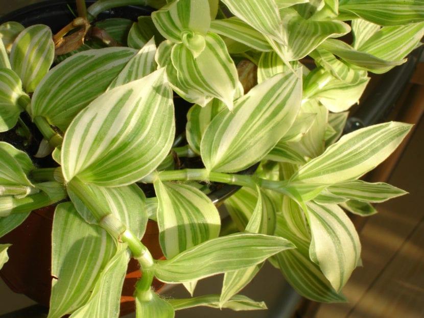 Tradescantia albiflora 'Fluminensis'