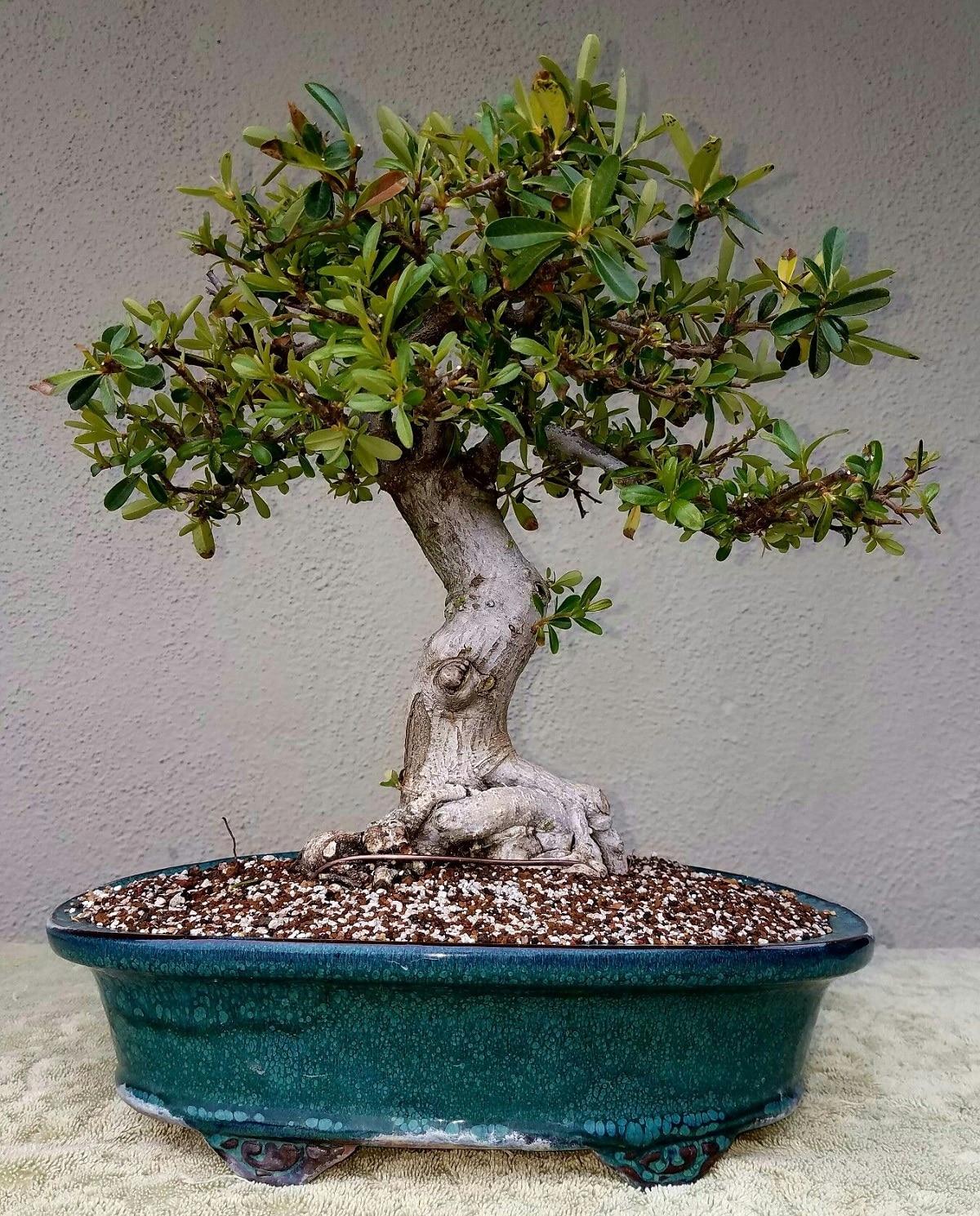 akadama bonsai