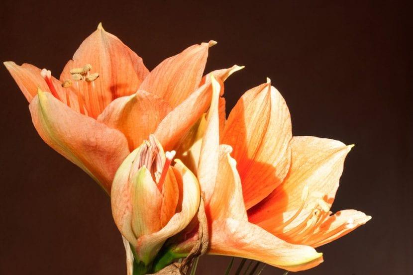 Amaryllis naranja