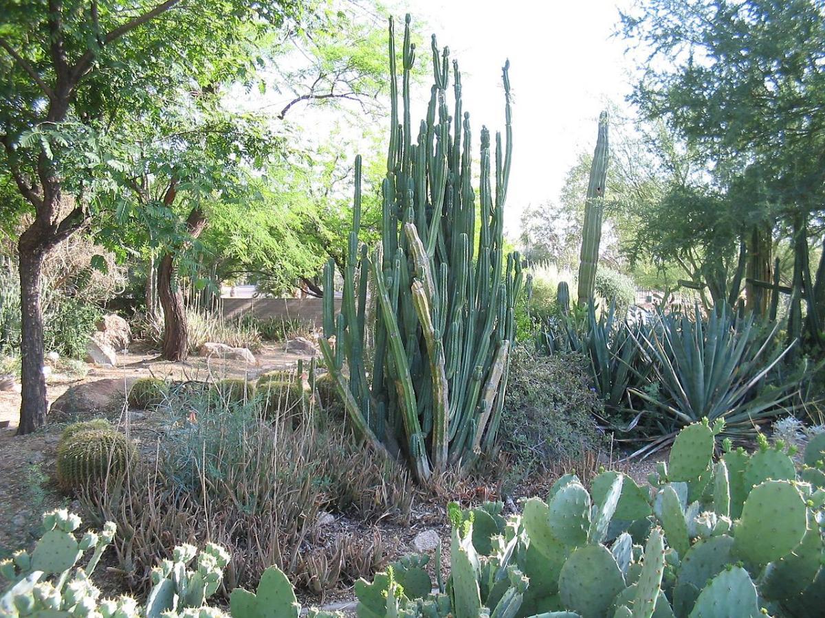 El Cactus San Pedro es una planta arbustiva