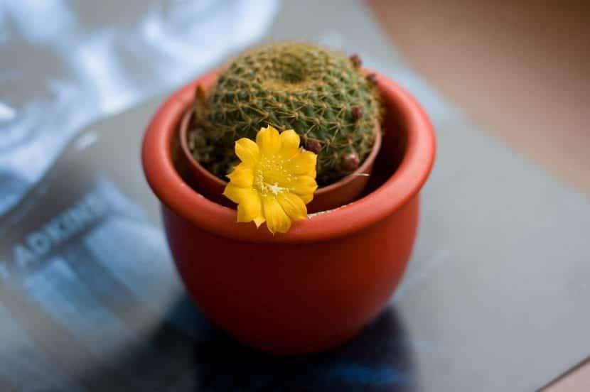 Cactus de Rebutia