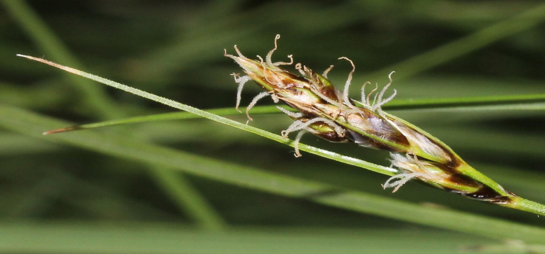Vista del Carex divisa