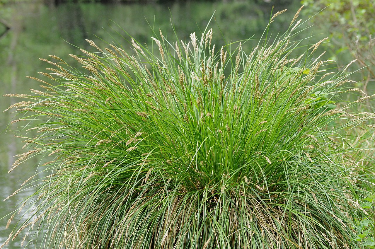 Vista del Carex paniculata