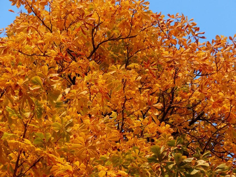 Castaño de Indias en otoño