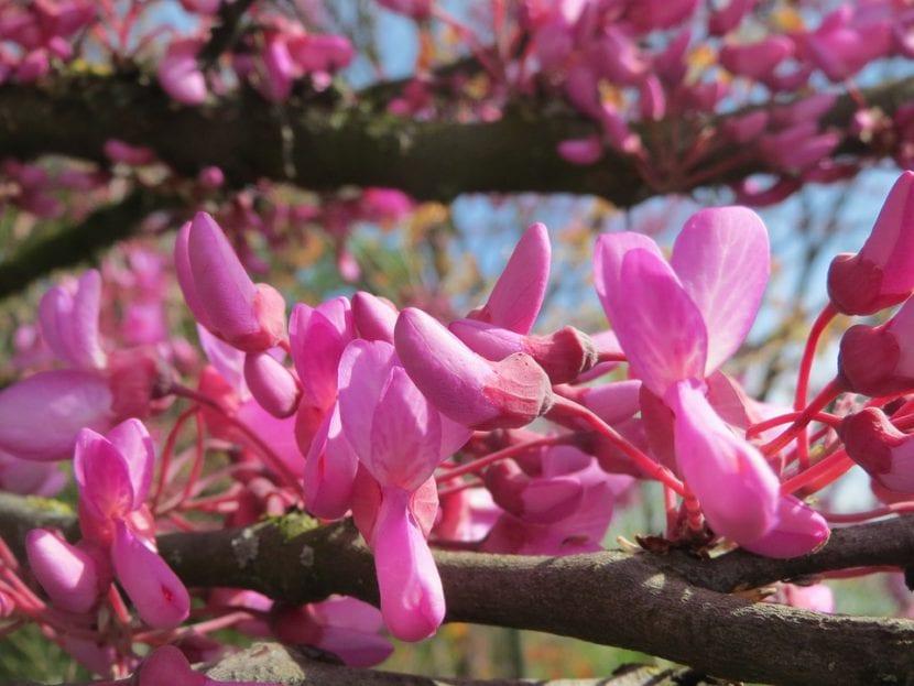 Flores de Cercis siliquastrum