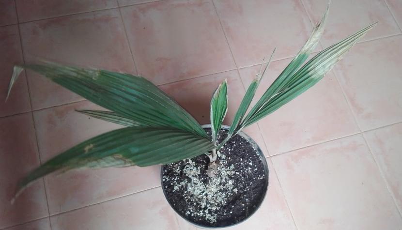 Ceroxylon amazonicum