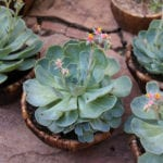 Ejemplar en flor de Echeveria glauca