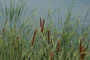 Espadaña o Typha latifolia