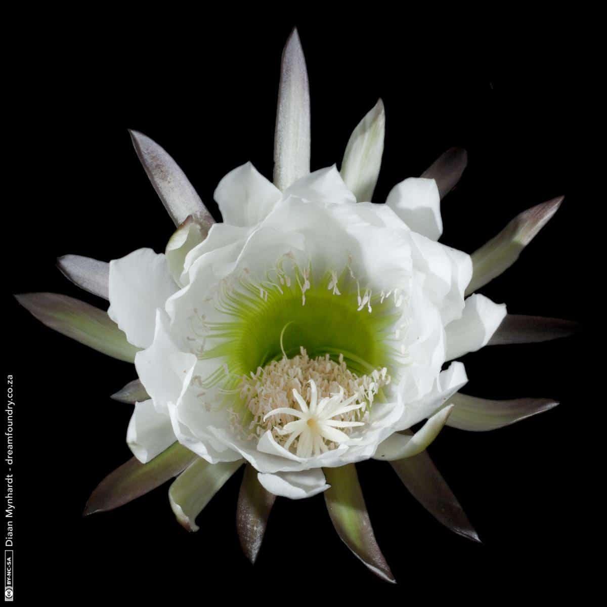 El San Pedro tiene flores blancas