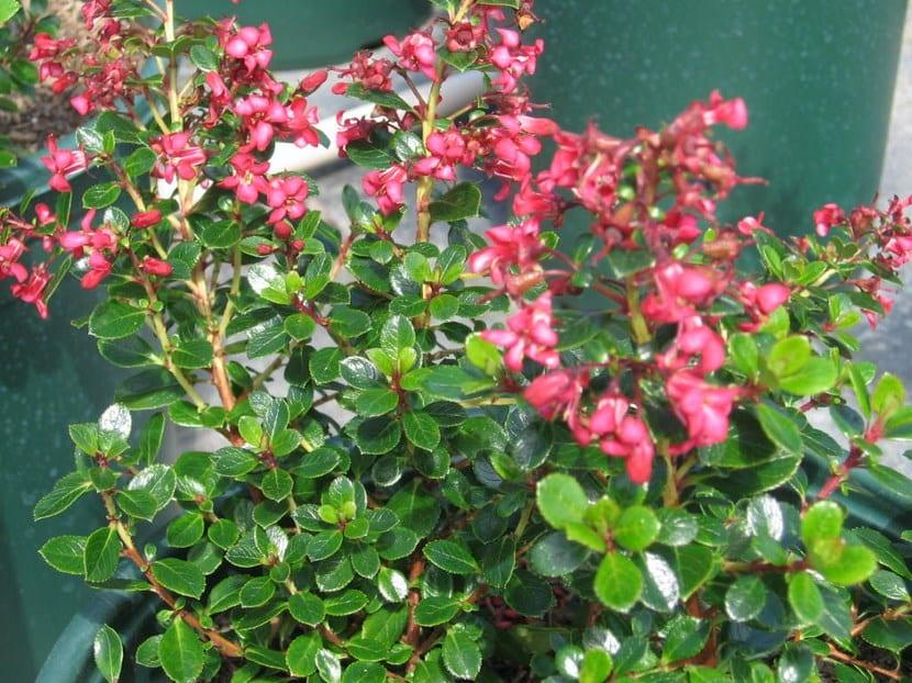 Flores Escallonia