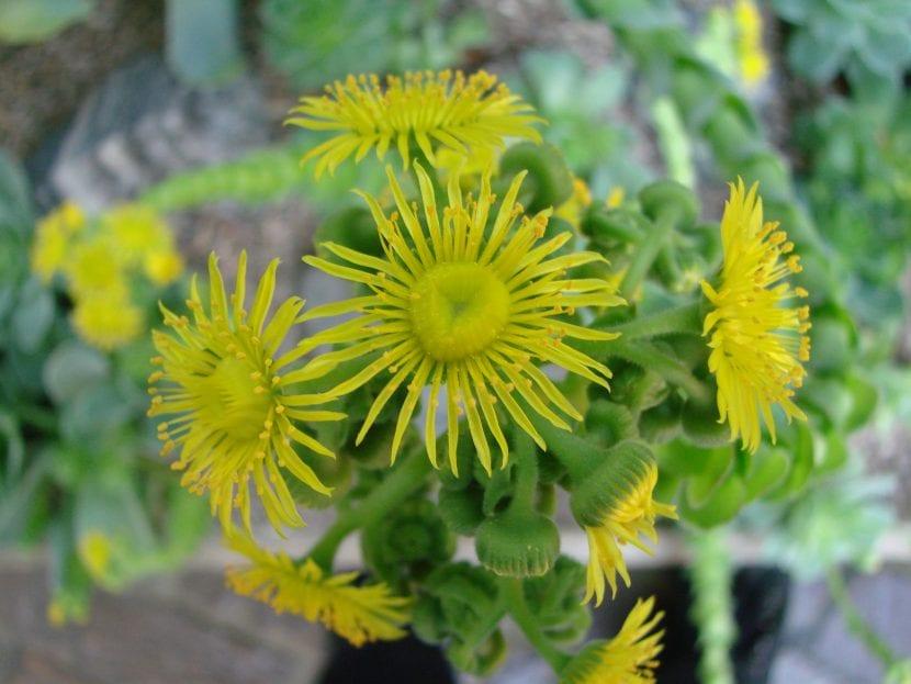 Flores de Greenovi