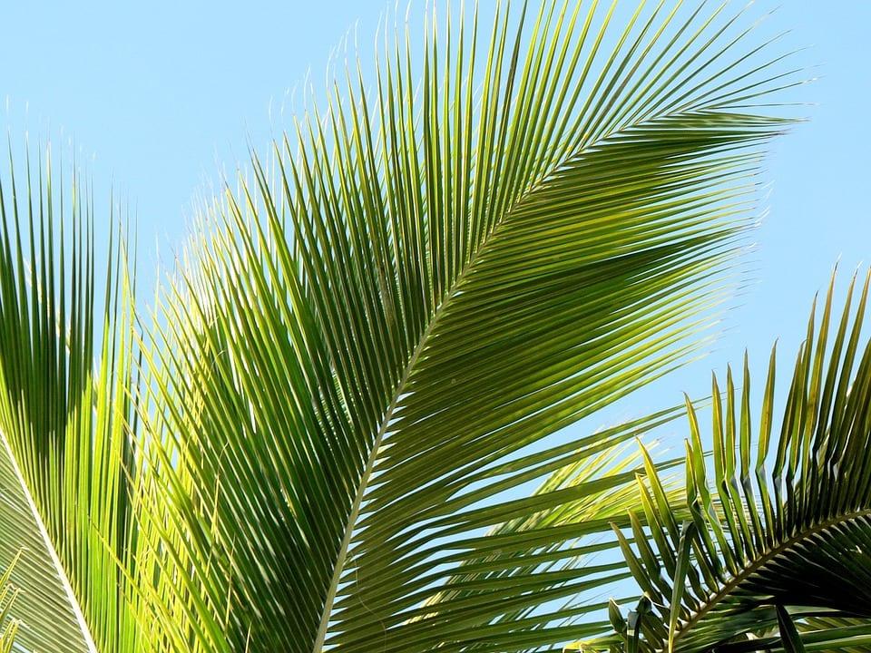 Vista de una hoja de palmera