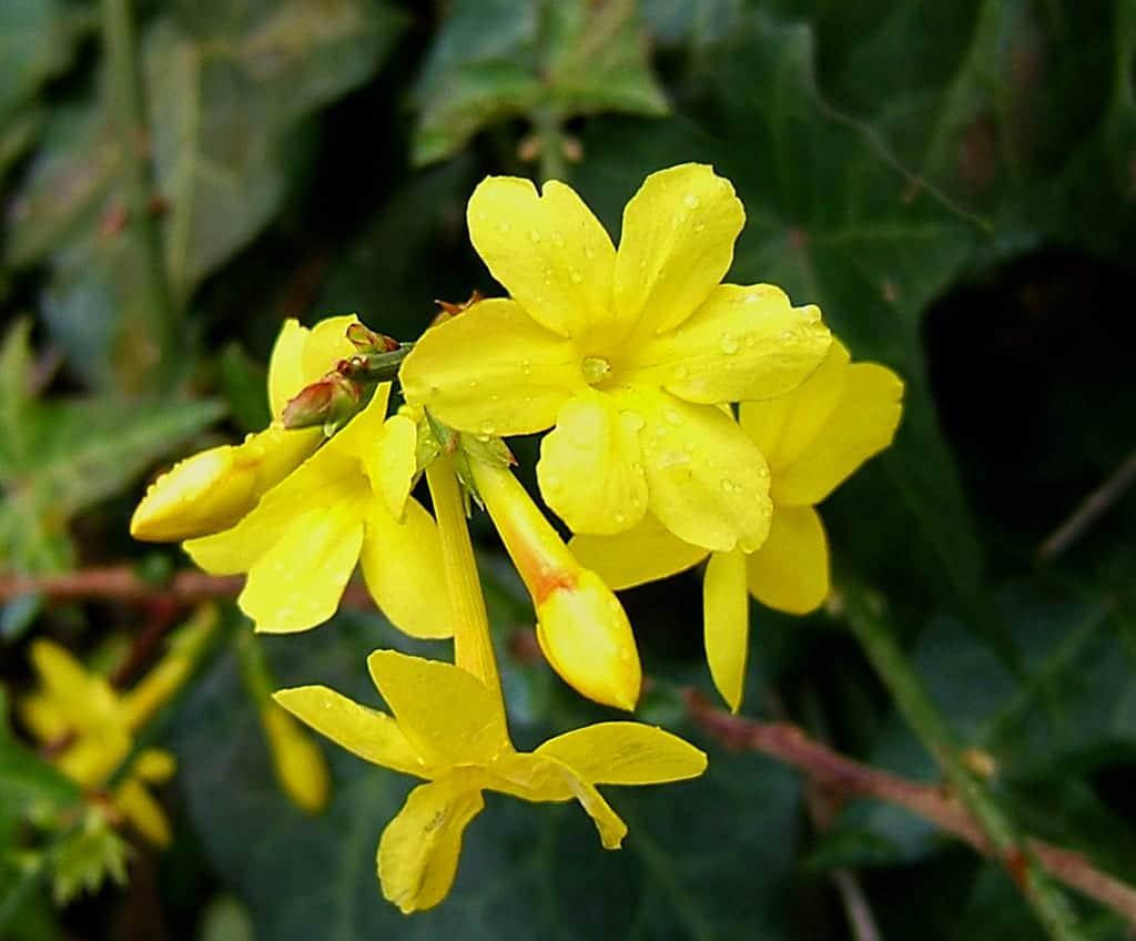 Flor de Jasminum nudiflorum