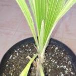 Parajubaea sunkha