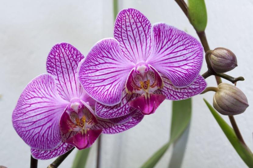 por qué a mi orquídea se le caen las flores