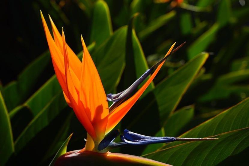 Planta ave del paraíso
