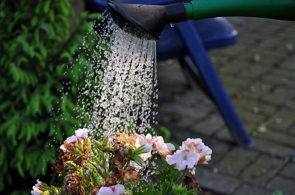 Regando las plantas.