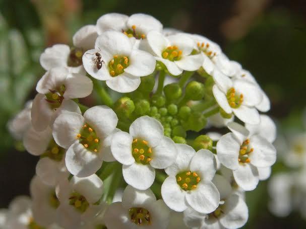 Flor de Miel
