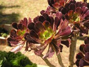 Aeonium arboreum, una suculenta de rápido crecimiento