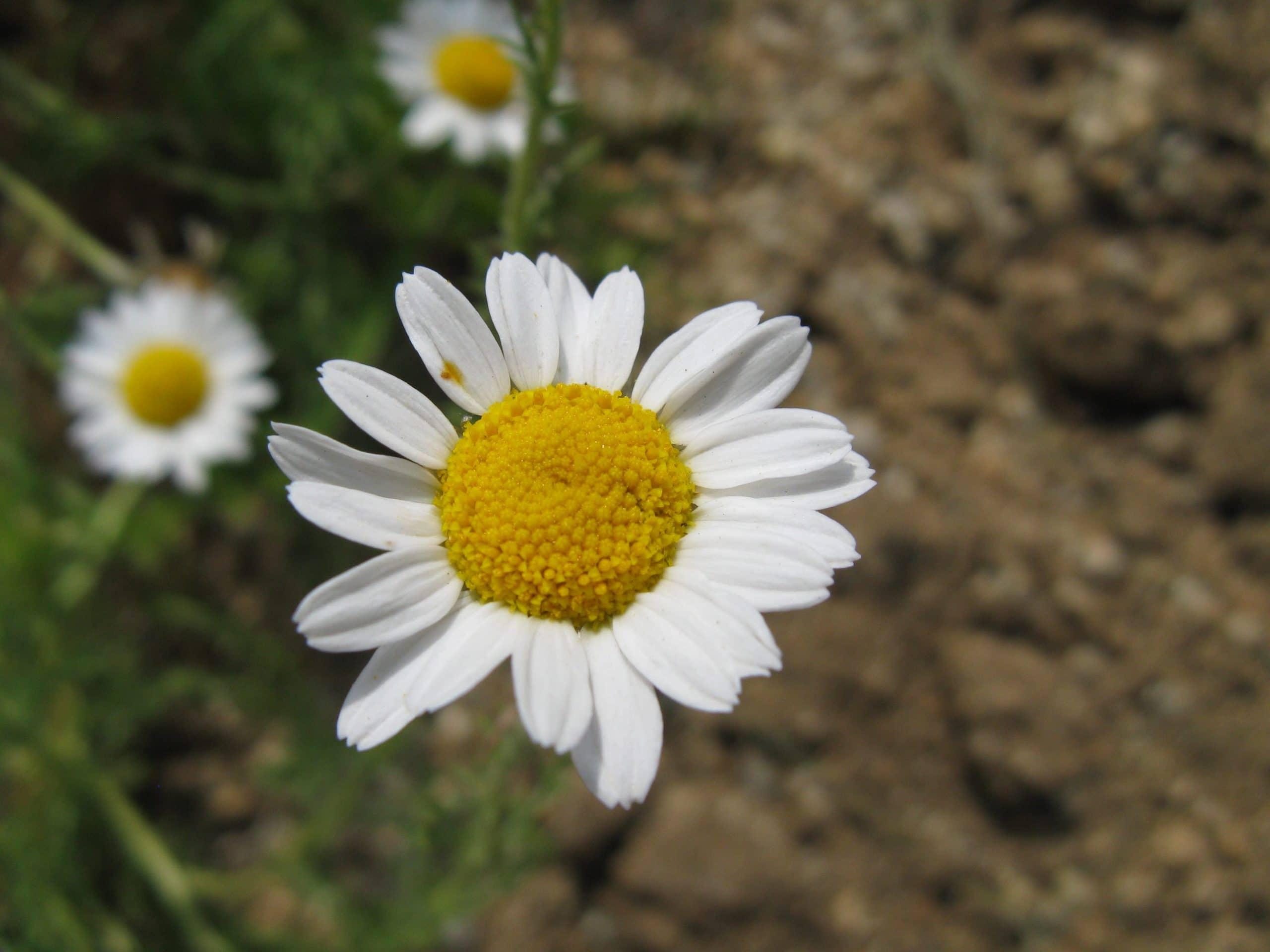 Flores de la camomila
